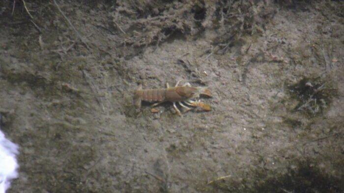 Procambarus regiomontanus